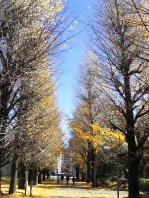 東京大学教養学部の銀杏並木