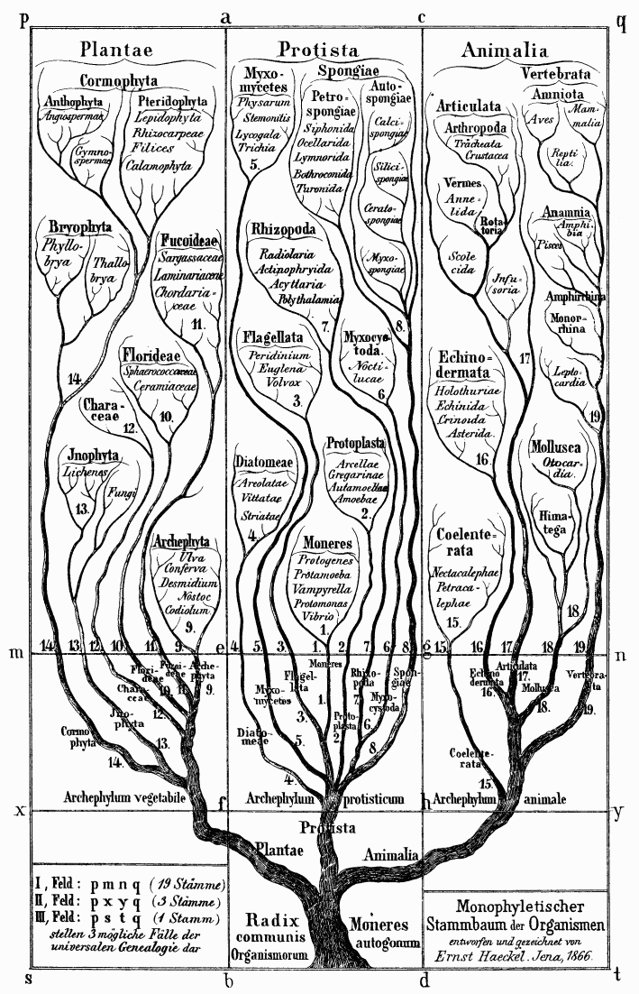 19世紀のドイツの生物学者エルンスト・ヘッケルが描いた生物の系統樹。『系統樹曼荼羅』の23ページにも同じ図がある。